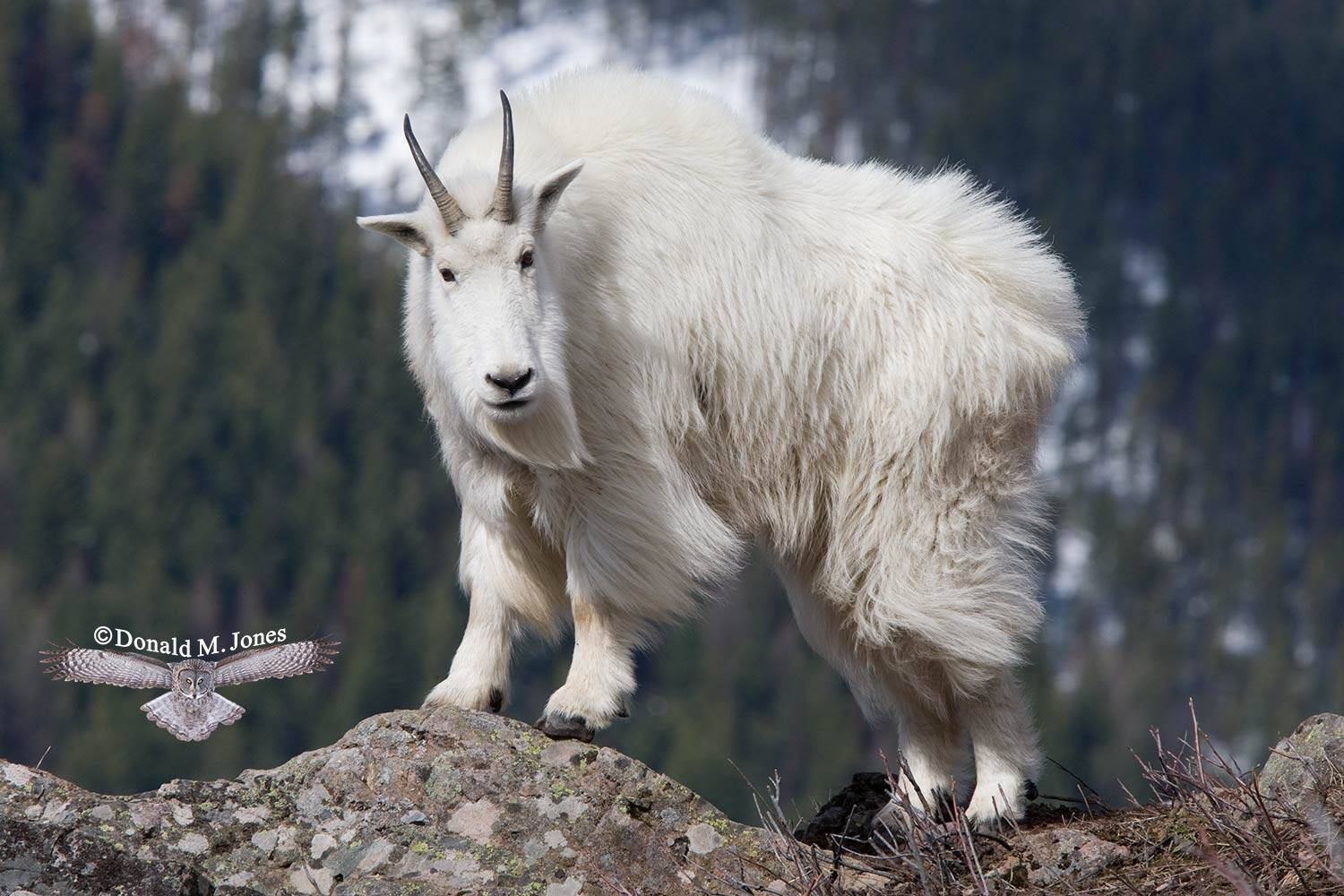 Mountain-Goat01817D