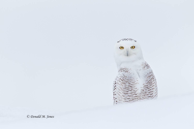 Snowy-Owl0551D