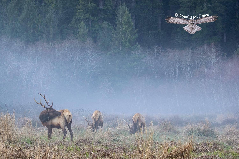 Elk-(Roosevelt)00114D