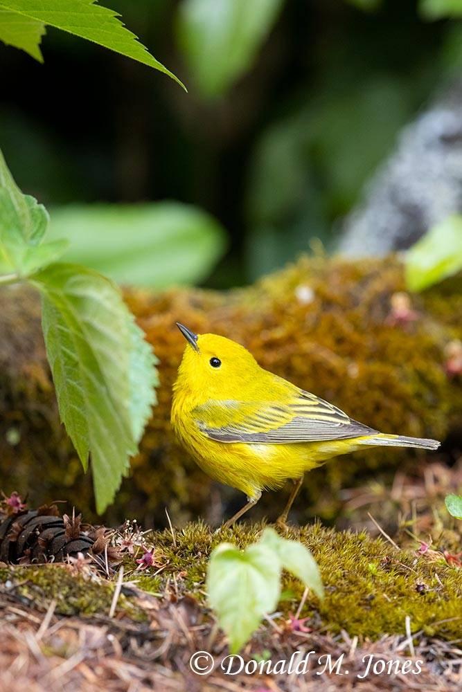 May 24 - Yellow Warbler0272D