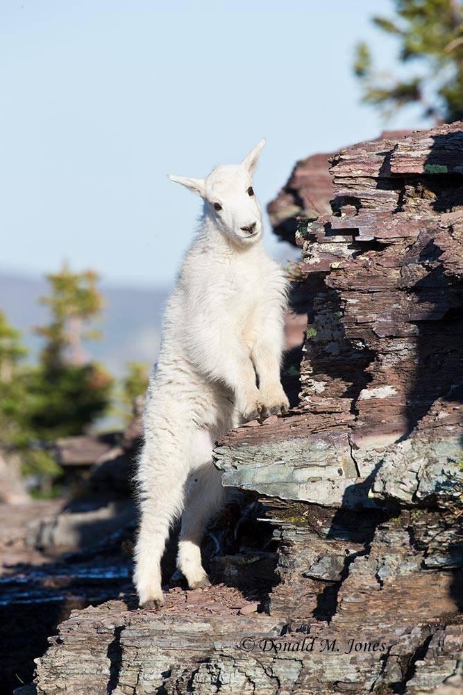 Mountain-Goat02554D
