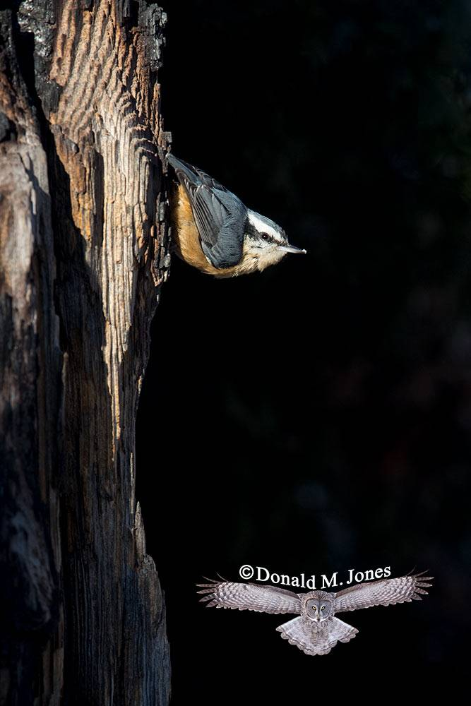 Red-breasted-Nuthatch0293D