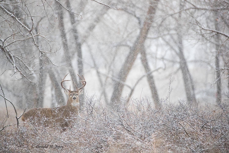 Whitetail-Deer58689D