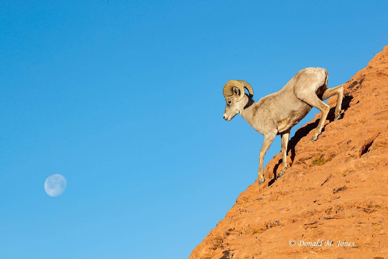 Desert-Bighorn-Sheep01290D