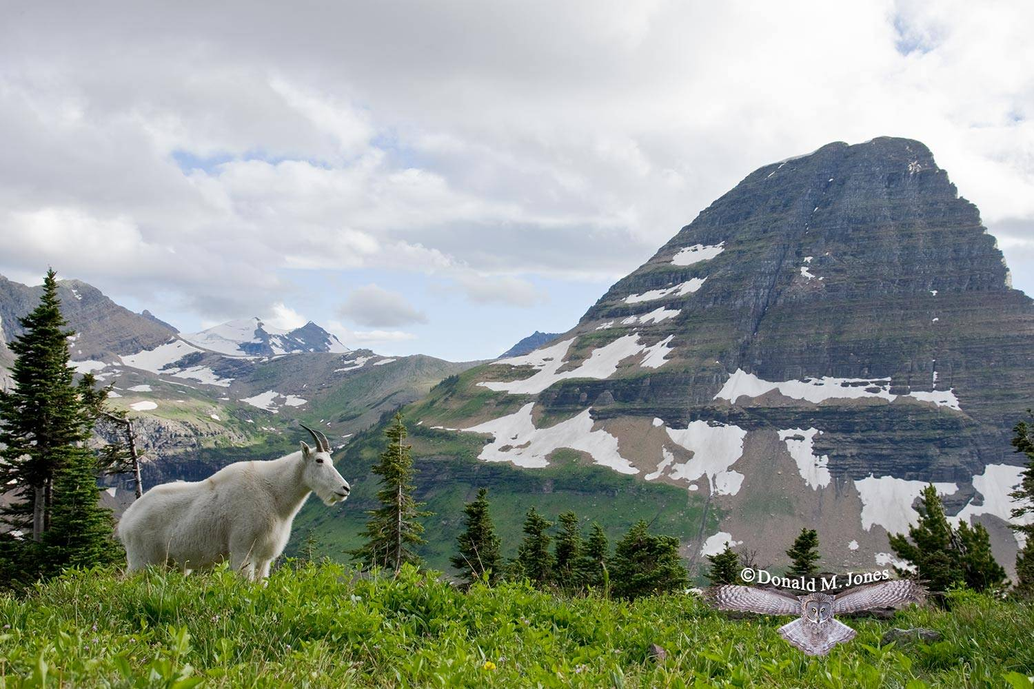 Mountain-Goat02028D