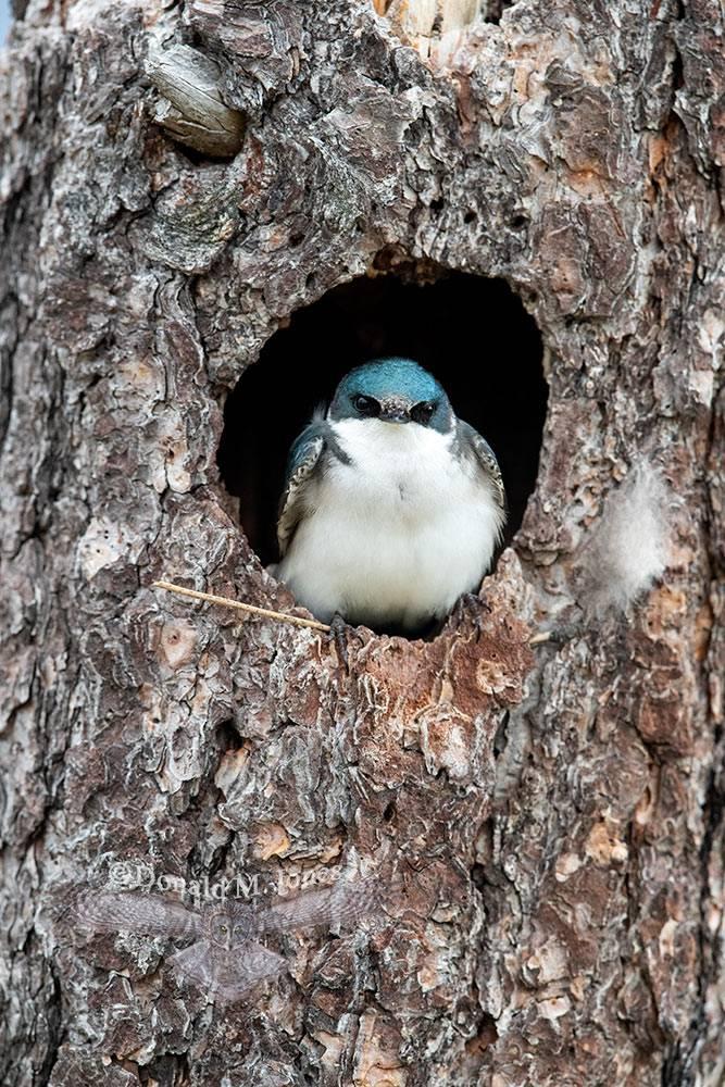 May 16 Tree Swallow at nesting cavity entrance
