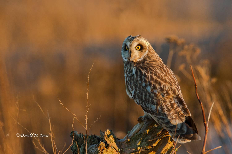 Short-eared-Owl0472D