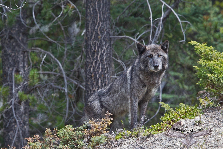 Wolf0591D