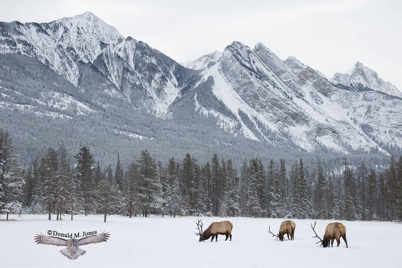 Elk-(Rocky-Mtn)14611D