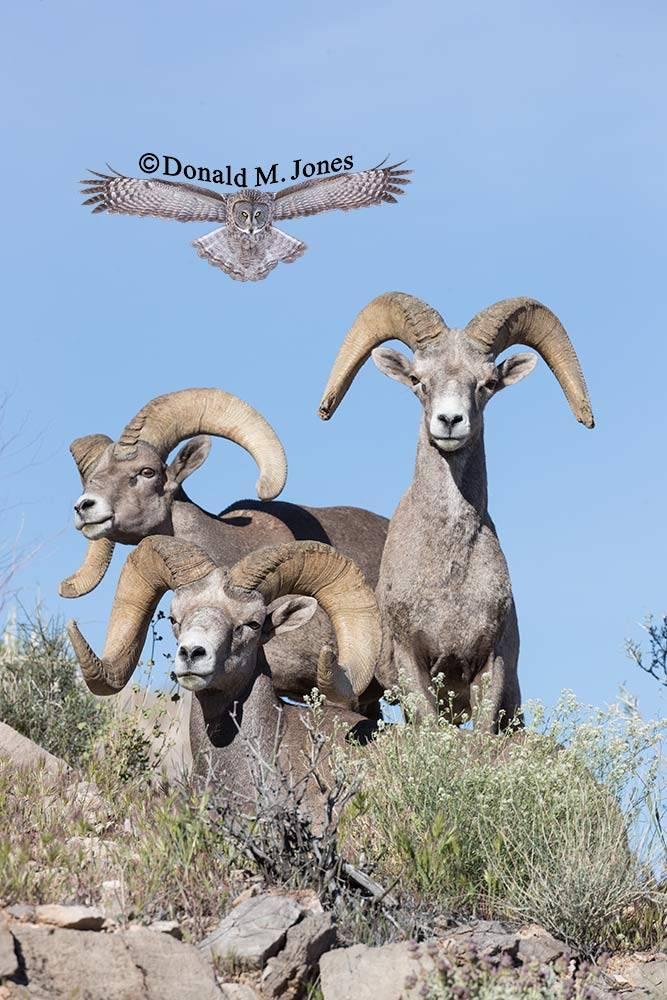 Desert-Bighorn-Sheep00931D