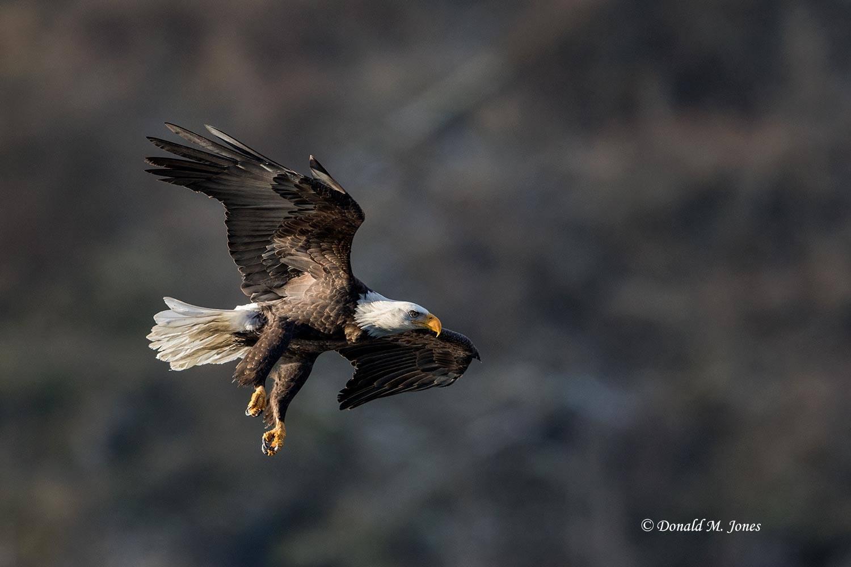 Bald-Eagle0990D