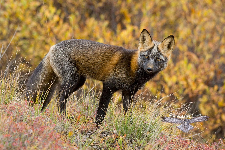Red-Fox0605D