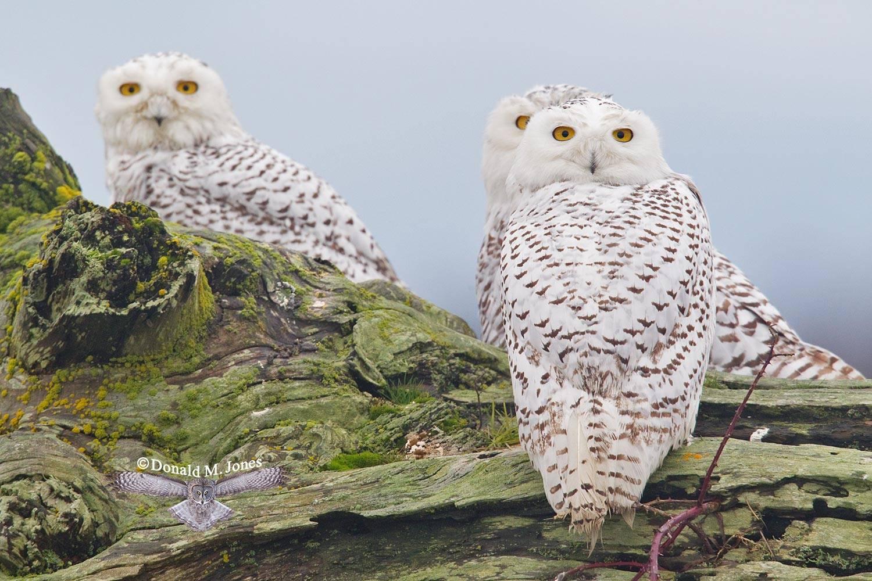 Snowy-Owl0772D