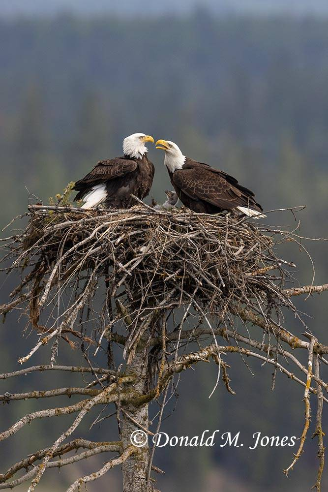 May 2 - Bald Eagle1110D
