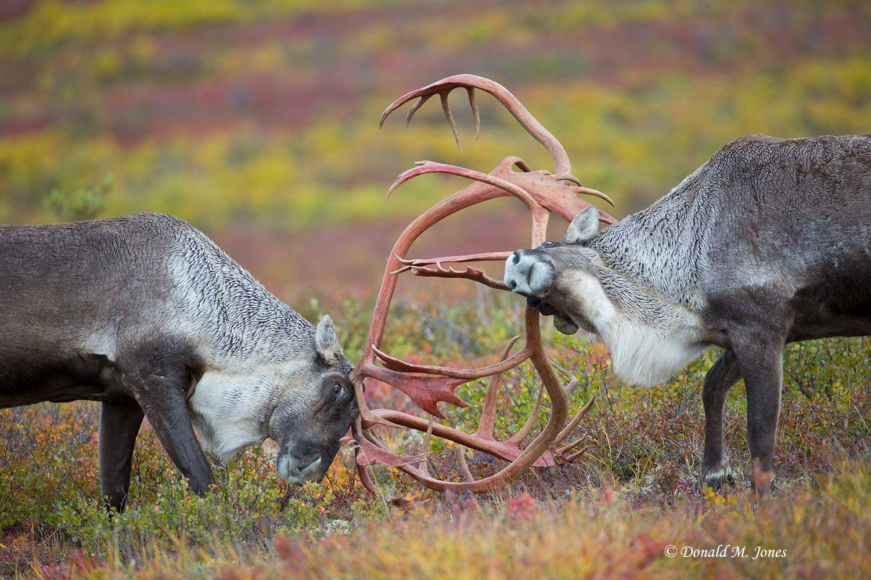 Barren-Ground-Caribou02833D