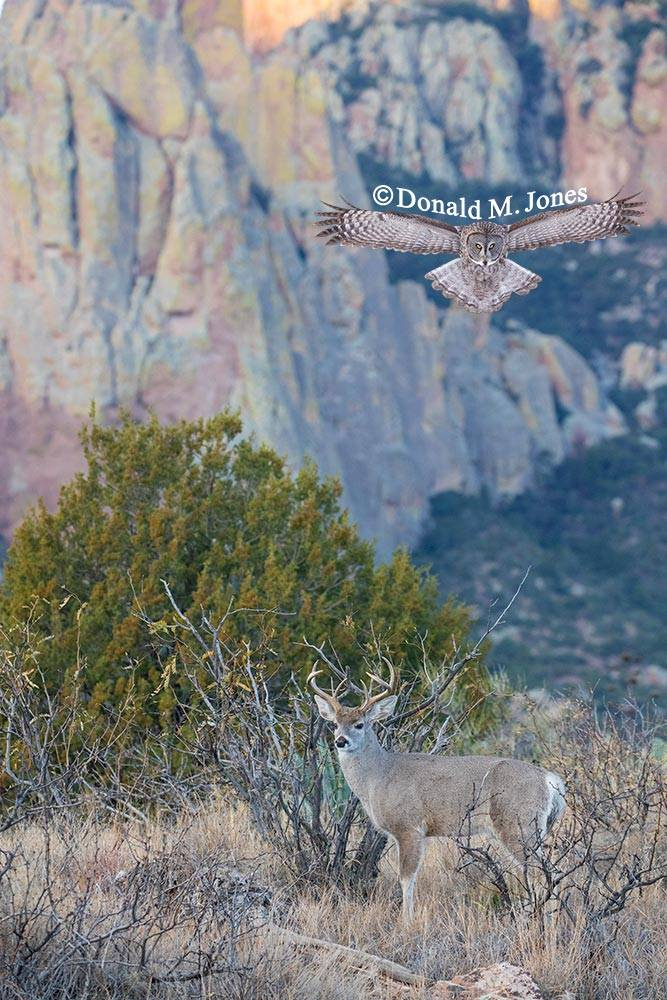 Coues-Whitetail-Deer1164D