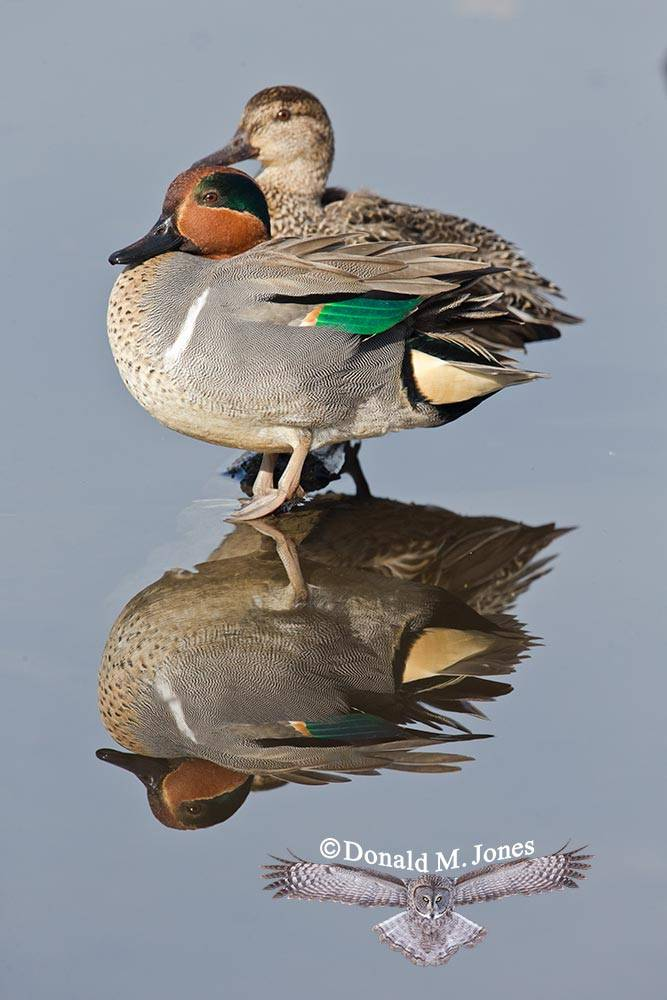 Green-wing-Teal0118D