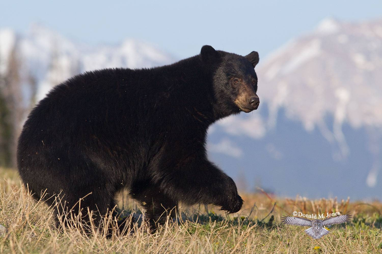 Black-Bear05858D