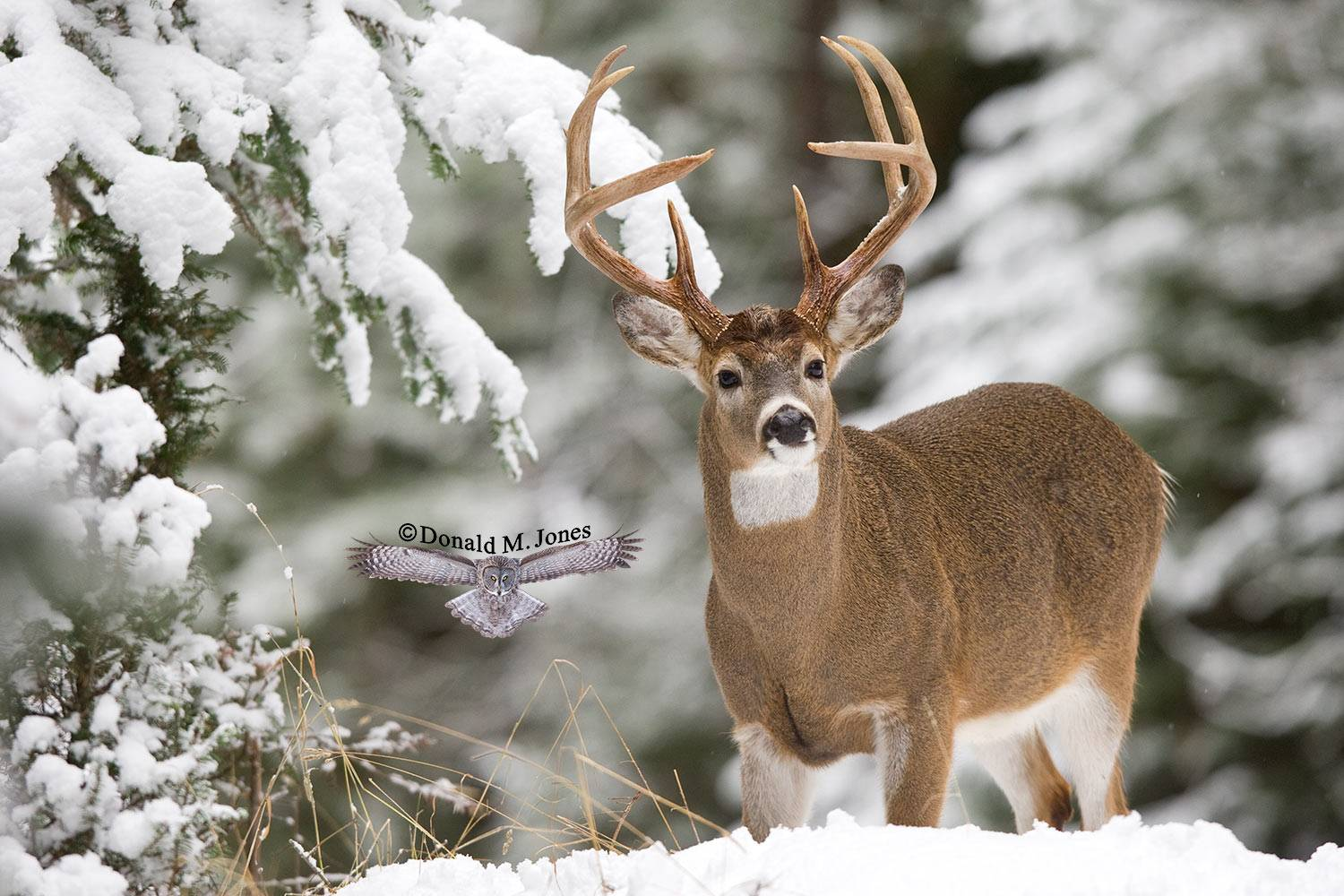 Whitetail-Deer33720D