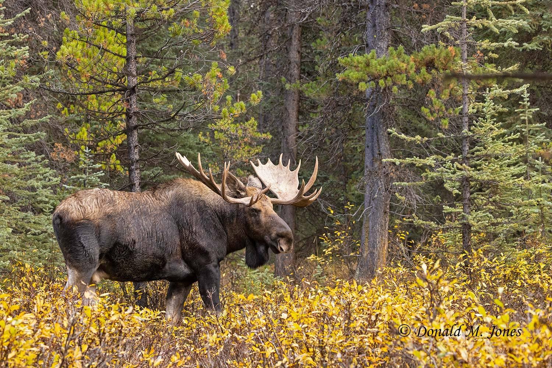 Moose07558D