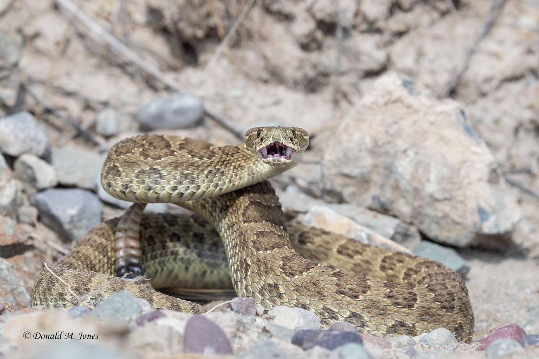 Western-Rattlesnake0260D