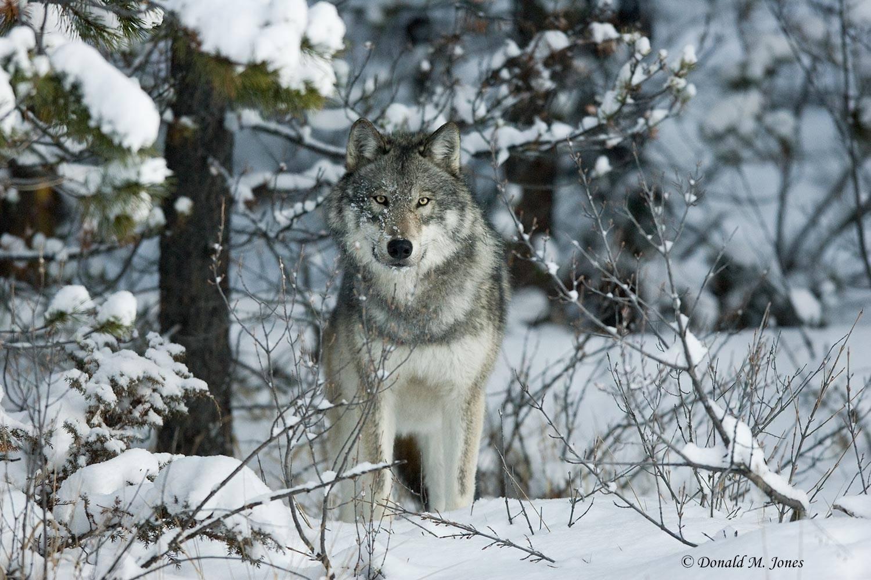 Wolf0351D