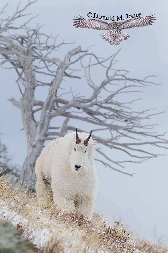 Mountain-Goat02291D