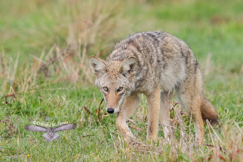 Coyote2629D