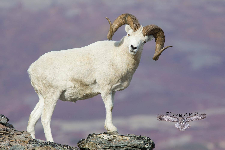 Dall-Sheep01244D