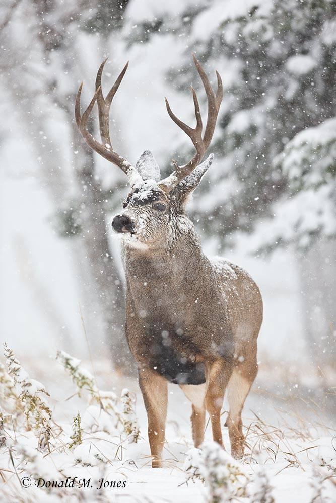 Mule-Deer09570D