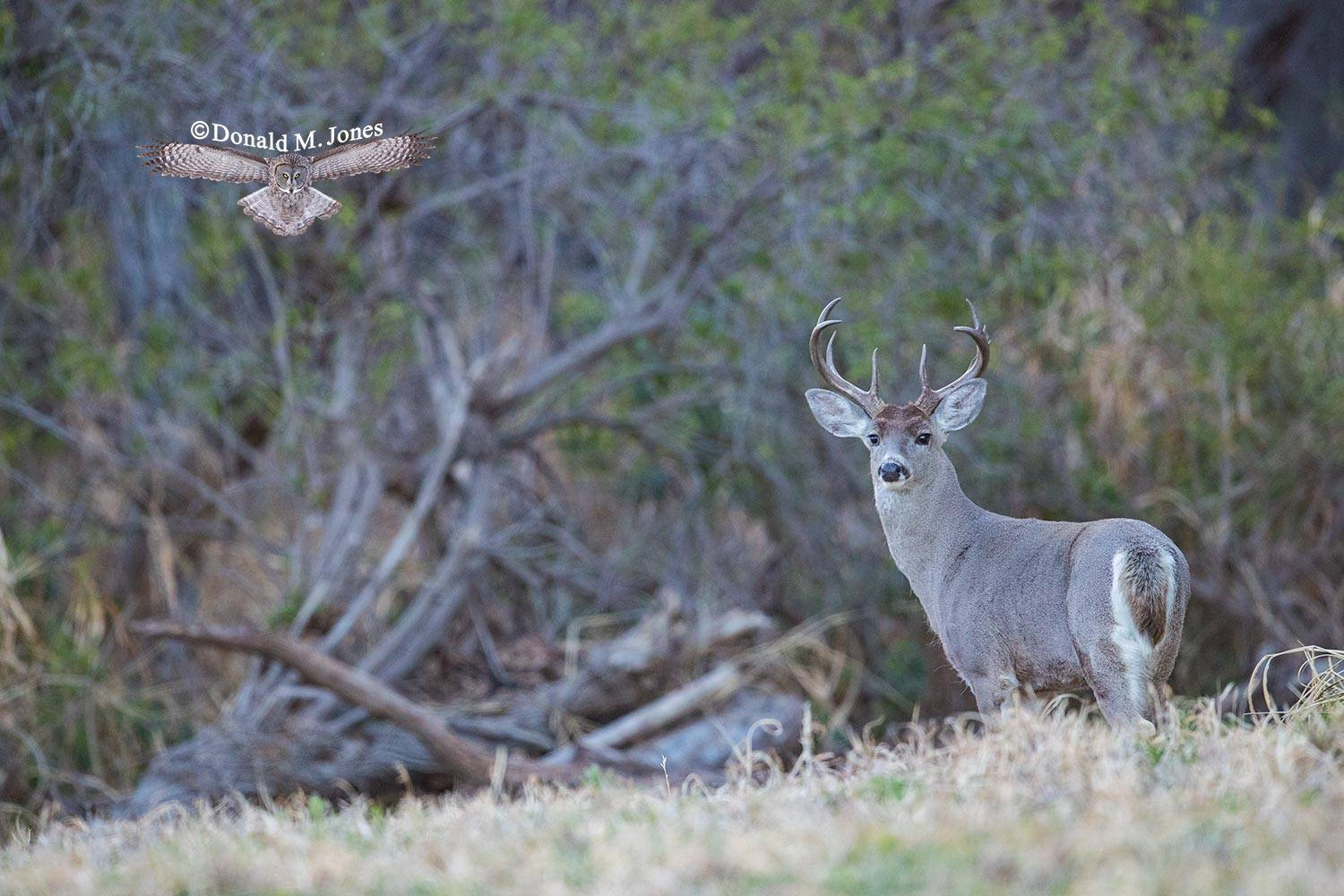 Coues-Whitetail-Deer1294D
