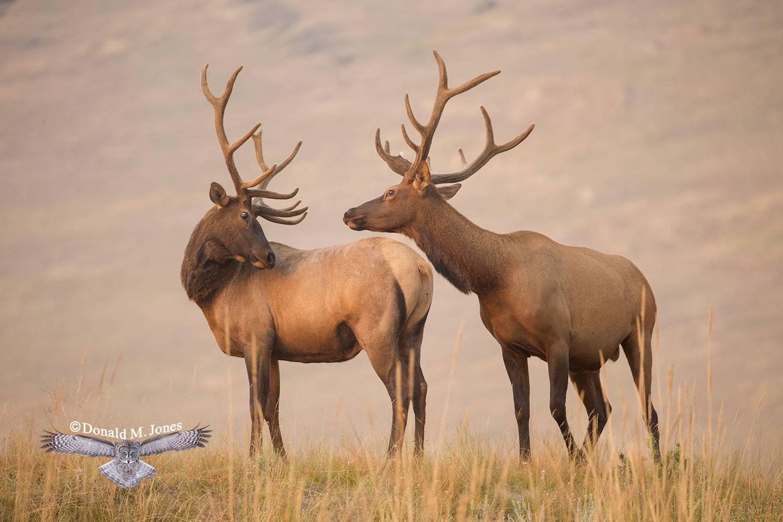 Elk-(Rocky-Mtn)25599D
