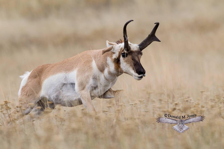 Pronghorn-Antelope05215D