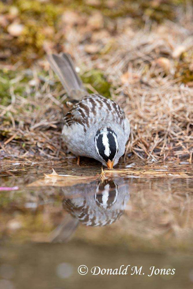 May 8 - White-crowned Sparrow1144D