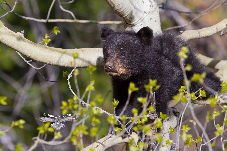 Black-Bear06153D