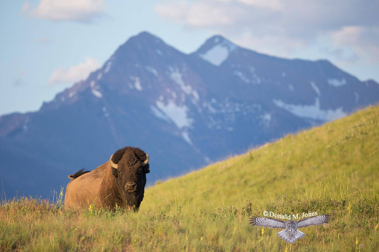American-Bison01897D