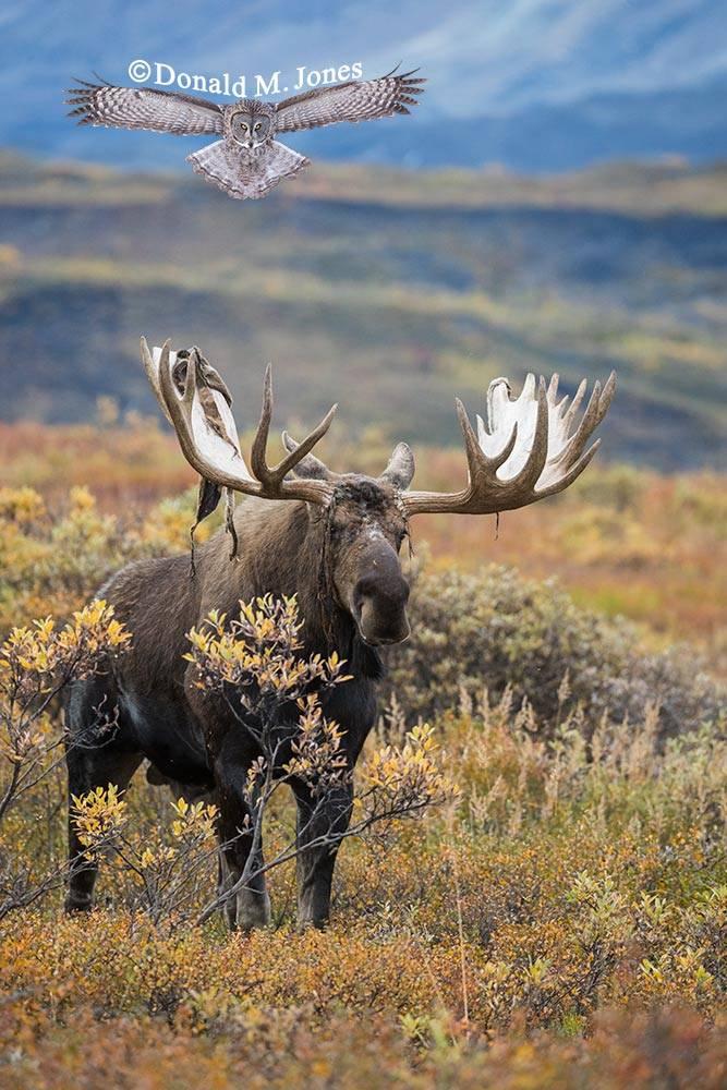 Moose05829D