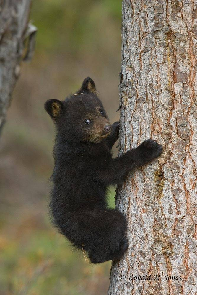 Black-Bear03909D