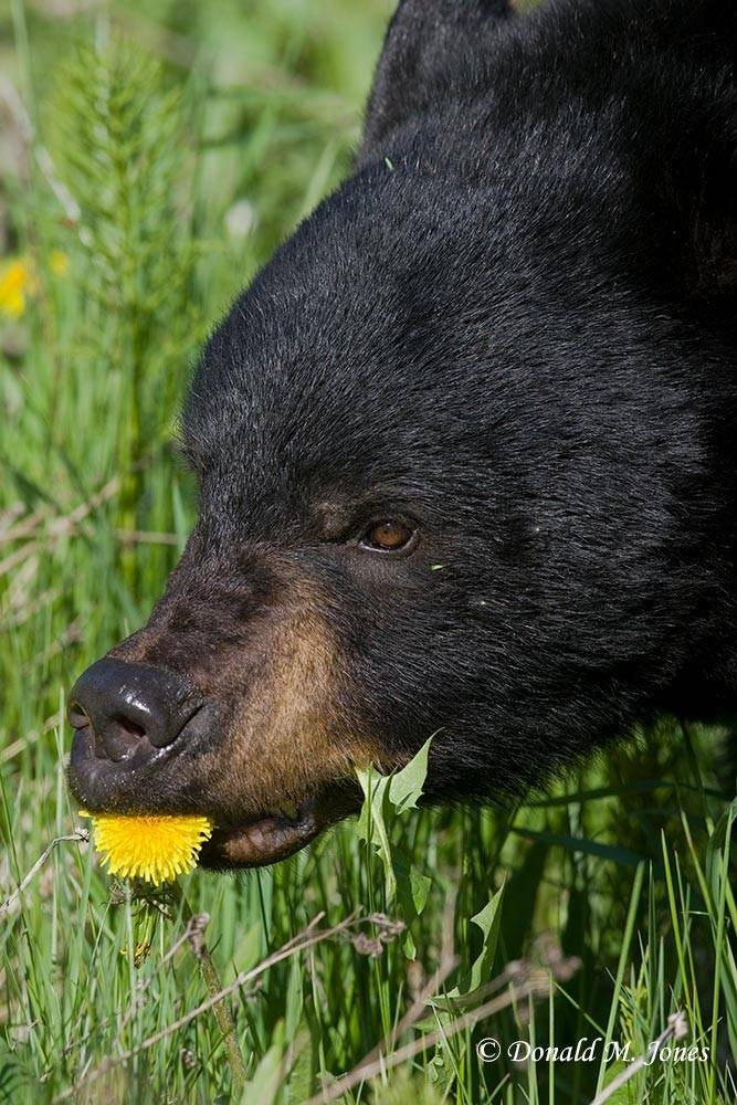 Black-Bear04468D