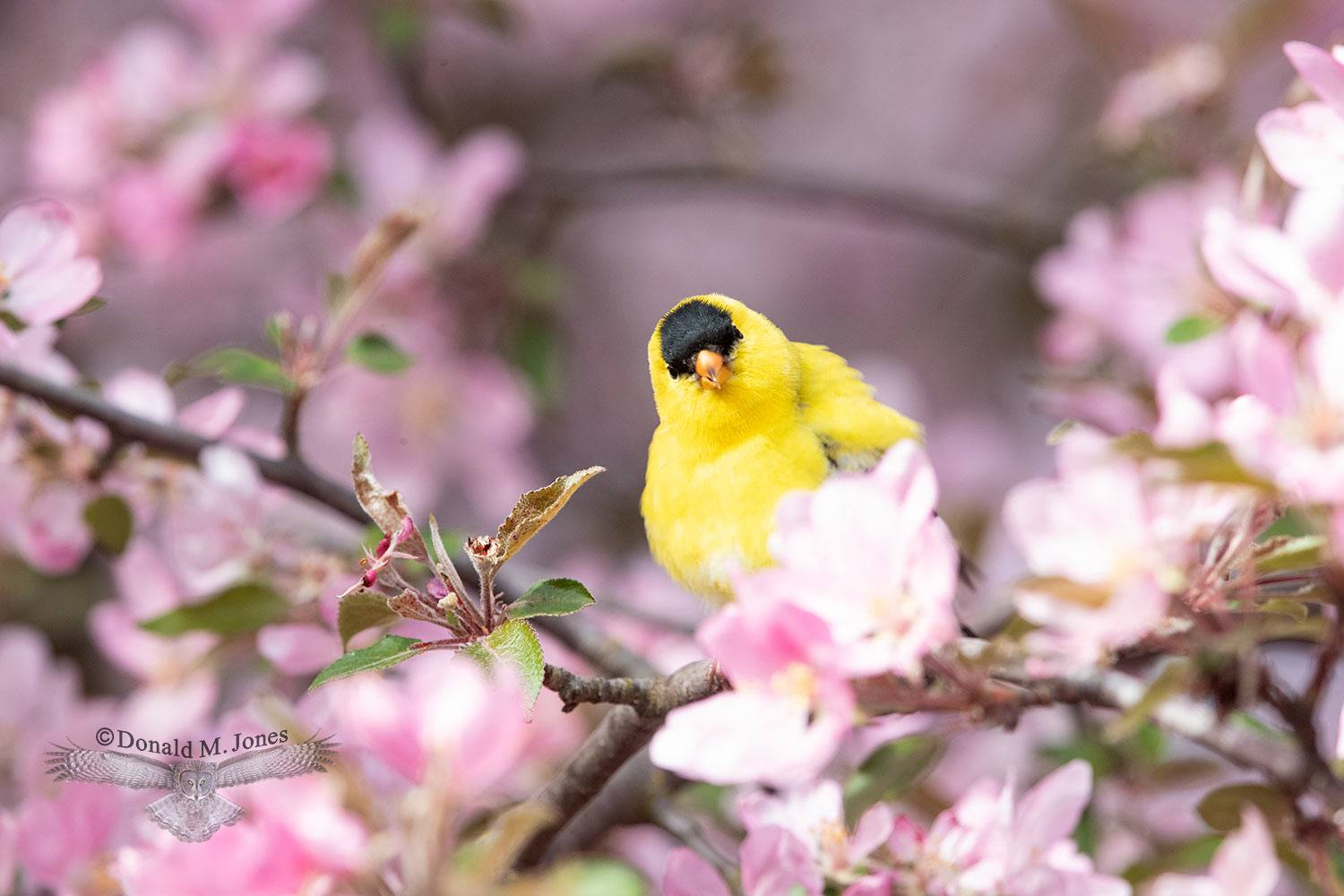 May 10 American Goldfinch male in Crab Apple tree
