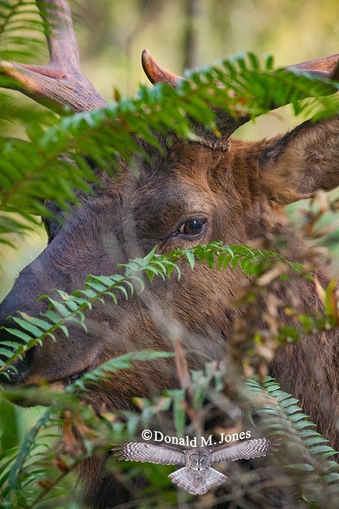 Elk-(Roosevelt)00174D