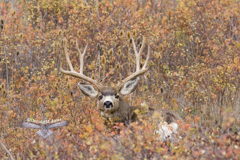 Mule-Deer05648D