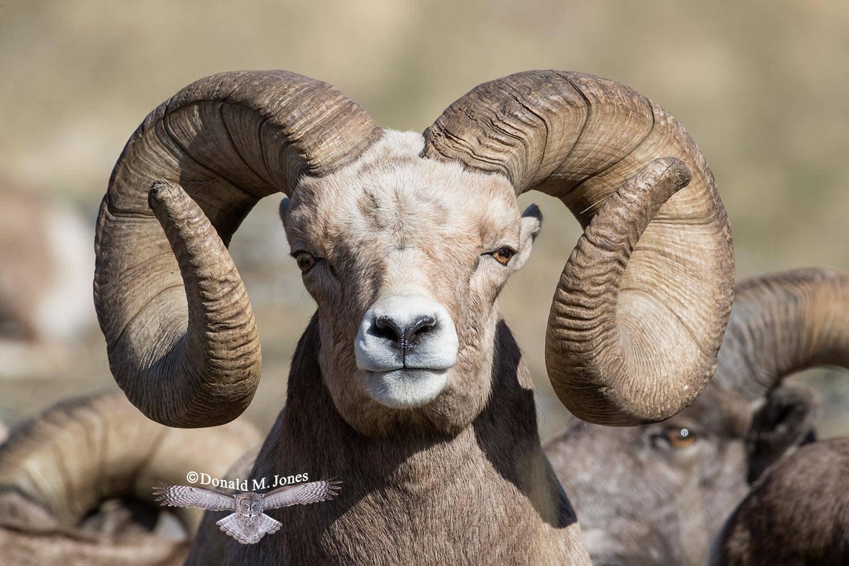 Bighorn-Sheep05831D