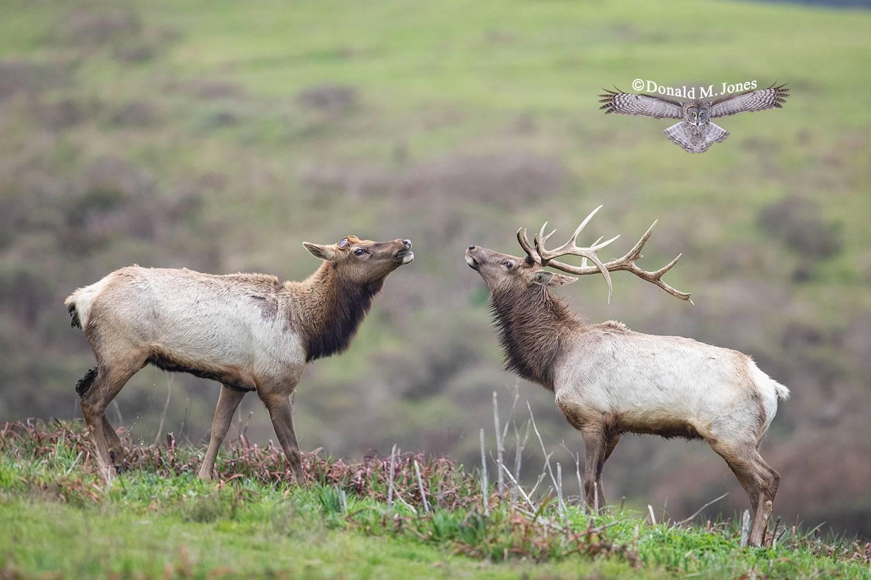 Elk-(Tule)00111D