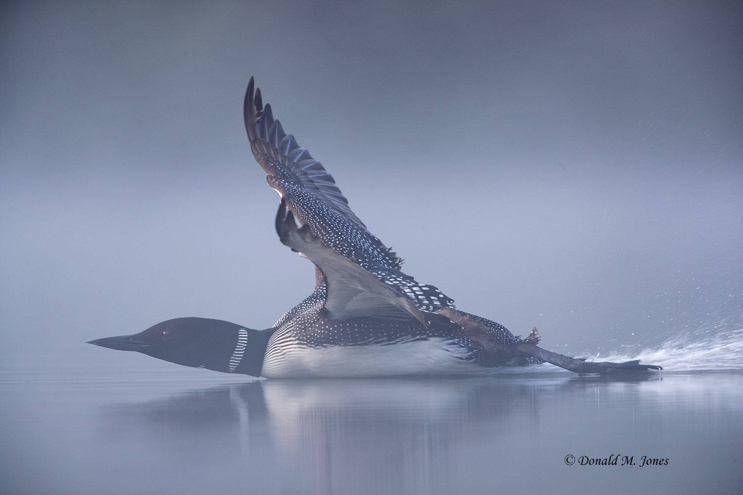 Common-Loon1374D