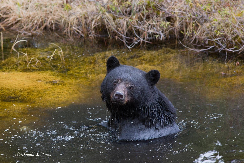 Black-Bear06196D