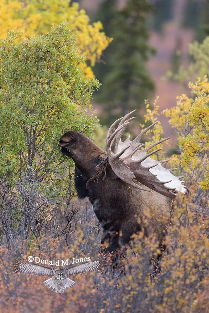 Moose06134D