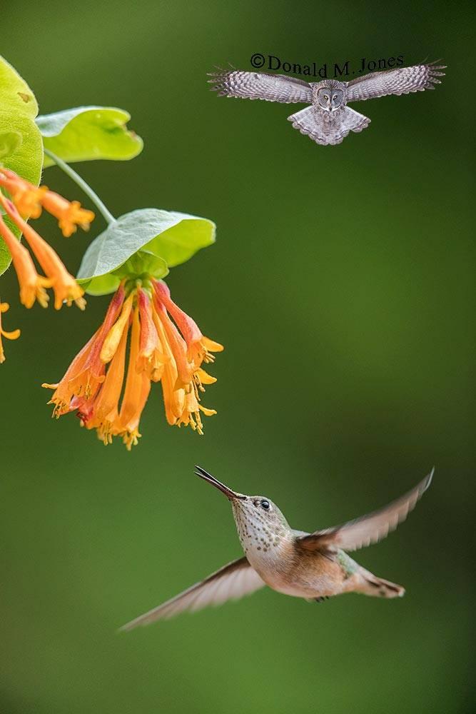 Calliope-Hummingbird0309D
