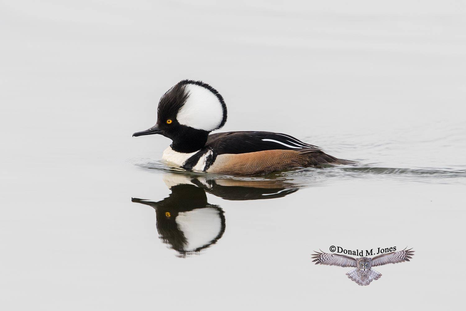 Hooded-Merganser0133D