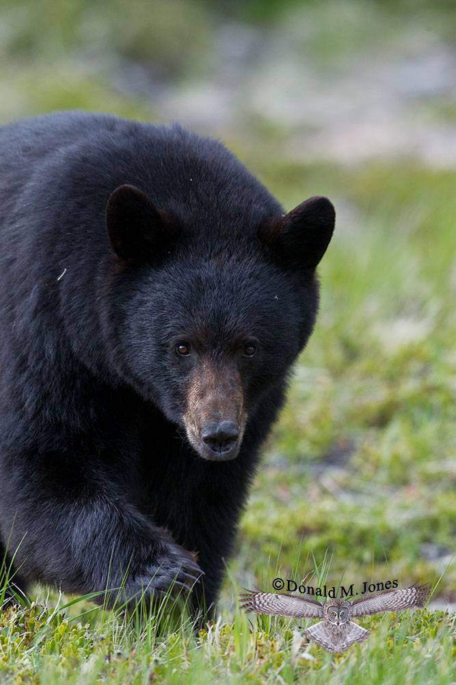 Black-Bear05609D